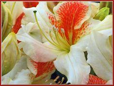 Azaleodendron Glory Of Littleworth