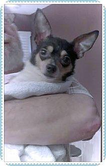 Hartsville, TN - Chihuahua. Meet Noah, a dog for adoption. http://www.adoptapet.com/pet/10774122-hartsville-tennessee-chihuahua