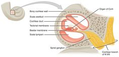 The Organ of Corti (organum spirale) is the sensory epithelium in the cochlea. It is located on the vestibular surface of the basilar membrane. It contains hair cells that covert sound vibrations into nerve impulses, which are transmitted to the brain via Cranial Nerve VIII. The Organ of Corti is named after Alfonso Corti, an Italian anatomist, who first described the structure in 1851. He studied the mammalian auditory system, and has other eponyms in the ear: Tunnel and Rods of Corti.