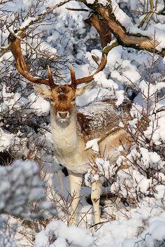 Rentier im Schnee / rendier in de sneeuw