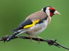 Hören Sie die Stieglitz auf deutsche-vogelstimmen.de, welches eine umfassende Sammlung an deutschen Vogelstimmen ist. Funktioniert auch auf Ihrem Handy!