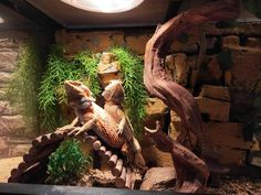 Cohabitation is not recommend for bearded dragons except for breeding purpose. Each dragon should be in different cage to avoid fighting Bearded Dragon Enclosure, Bearded Dragon Cage, Window Ventilation, Large Terrarium, Glass Cages, Baby Dragon, Pet Shop, Habitats, Dragons