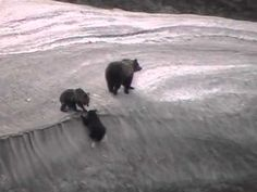 Super cute video of Grizzly cubs.