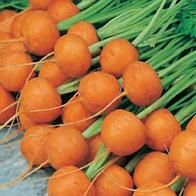 DAUCUS carota - Atlas - Morcovi mini