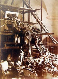 Mounting of the first complete Iguanodon specimen 1891