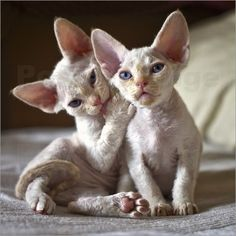 Top 13 Naturally Pet-Friendly Cat Breeds The Devon Rex cat is on the list of pet-friendly cats. Cute Cats And Kittens, I Love Cats, Crazy Cats, Funny Kittens, White Kittens, Adorable Kittens, Black Cats, Most Beautiful Cat Breeds, Beautiful Cats