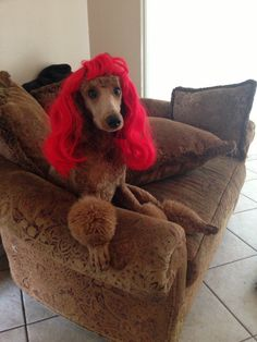Red Standard Poodle Red Poodles, White Puppies, I Am Awesome, The Past, Standard Poodles, Pets, Life, Animals And Pets