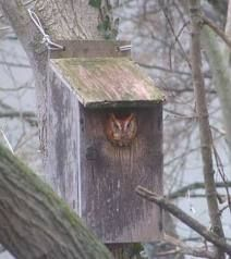 owl in owl house Butterfly Bat, Bird Feeding Station, Owl Box, Screech Owl, How To Attract Birds, Owl House, Creative Things, Nature Animals, Birdhouses