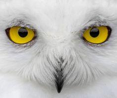 Snowy Owl by Johan J. Ingles