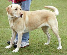 Labrador Retriever is #7 on the smart dog list.  Hola, Jake brother!