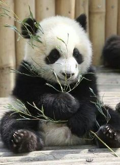 Information about types of pandas that exist in the world. Not only that, you can find fun facts about giant pandas and red pandas too. Cute Baby Animals, Animals And Pets, Funny Animals, Baby Pandas, Giant Pandas, Wild Animals, Panda Babies, Red Pandas, Panda Love