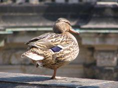 pato Birds, Animals, Animales, Animaux, Bird, Animal, Animais