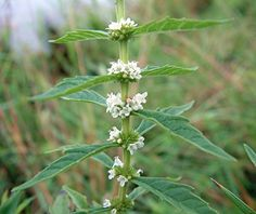 Bugleweed (Lycopus Spp.) in Manitoba - used for hyperthyroidism