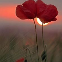 Fairy Dust, Sunset Photography, Nature Wallpaper, Poppies, Beautiful Flowers, Art Projects, Illustration Art, Painting, Poppy Flowers