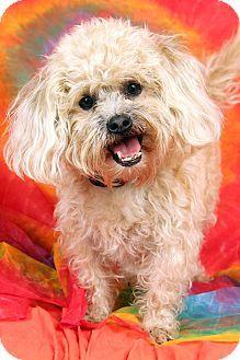 St. Louis, MO - Shih Tzu/Poodle (Miniature) Mix. Meet Baxter Shnoodle, a dog for adoption. http://www.adoptapet.com/pet/15952054-st-louis-missouri-shih-tzu-mix