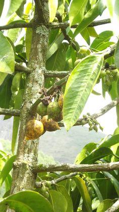 Mangustão fruta saborosa