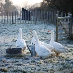 geese on a frosty morning ↣✿