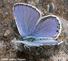 Western Tailed-Blue (Cupido amyntula). Host/nectar plants: many-leaved lupine and american vetch.