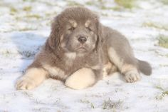 Blue-Grey Tibetian Mastiff