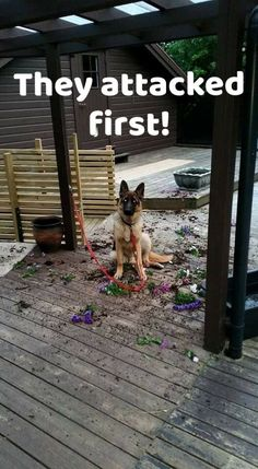Leave a German Shepherd alone at your own risk!