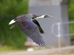 Straw-necked Ibis _ Richmond NSW | by mahi mahi 163 Bird Guides, Mahi Mahi, Bird Species, Long Legs, Birds, Bird