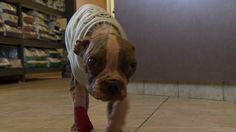 "Poll: Do you think there should be stricter animal cruelty laws?   PLEASE VOTE and SHARE LIKE A WILD FIRE!    ""Inspired by a 4-month-old Boston terrier, known as Libre, found emaciated and with severe mange last month, Lancaster District Attorney Craig Stedman and Pennsylvania lawmakers want to change current animal cruelty law statues."""