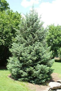 Colorado blue spruce a pyramidal for evergreen tree with for Small decorative evergreen trees