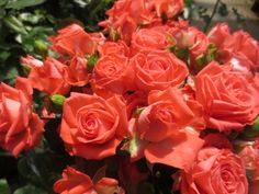 Barbados Spray Roses, Cut Flowers, Barbados, Wedding Events, Victoria, Plants, Flora, Plant, Planets
