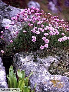 Thrift - Plant Encyclopedia - BHG.com
