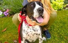 Desi (all expenses paid, for life!) is an adoptable English Pointer Dog in Los Angeles, CA. ***** All costs associated with caring for Desi will be provided for you, including veterinary , food, toys,...