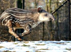 UPDATE:  Tapir calf at Zoo Brno gets frisky!  Read the story and see more photos today on zooborns.com