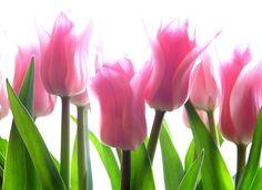 Tulip Flower HD Widescreen High Definition Wallpaper HD Wallpaper