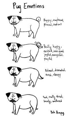 Since pugs always have adorably sad and puzzled facial expressions, the best way to tell how they're feeling is through their body language. And by body I really mean tail.