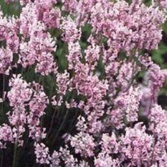 Rose Lavendel (Lavandula angustifolia 'Rosea')-directplant