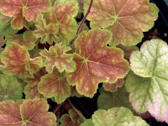 Miracle Coral Bells