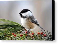 Pine Chickadee Canvas Print by Christina Rollo.  All canvas prints are professionally printed, assembled, and shipped within 3 - 4 business days and delivered ready-to-hang on your wall. Choose from multiple print sizes, border colors, and canvas materials.