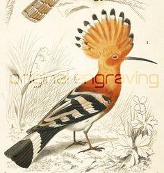 Bird Common Hoopoe and Eurasian #Wryneck 1861. Original antique hand colored…