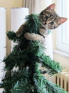 63 Ideas for funny cats christmas kittens Cat Christmas Tree, Christmas Kitten, Christmas Animals, Merry Christmas, Cute Kittens, Kittens And Puppies, Mundo Animal, Tier Fotos, Funny Animal Pictures