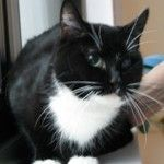 Callie is an adoptable Tuxedo Cat in New York, NY. I am a beautiful five year old black and white female cat, better known as a tuxedo white my fur coat I can only see out of one eye but that does not...