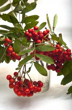 rowan- berries from the rowan tree in Scotland Sorbus americana 'dwarfcrown' Red cascade mountain ash