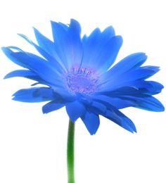 http://th01.deviantart.net/fs10/PRE/i/2006/158/8/8/Blue_Gerbera_by_Ji_Owon.jpg