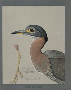 Fieldiana Zoology Special Handbooks - Album of Abyssinian birds and mammals / - Biodiversity Heritage Library