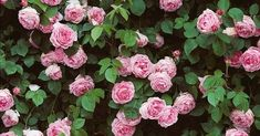 HGTV If you saw my recent post on climbing roses , you know that I've recently planted a lot of them and have been researching their . Constance Spry, Climbing Roses, Rose Bouquet, Beautiful Flowers, Floral Wreath, Hgtv, Romantic, Roses Garden, Plants