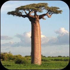 Baobab TreeMore Pins Like This At FOSTERGINGER @ Pinterest