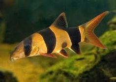 Znalezione obrazy dla zapytania rybki akwariowe gatunki