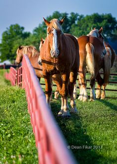 Gorgeous horses on a Texas farm