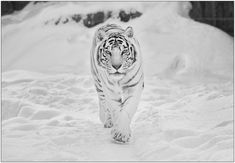 I love white tigers!