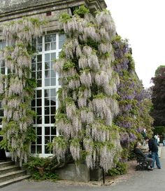 Lilac & wisteria covered wall. How gorgeous.