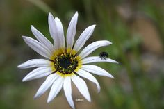 Reference Photos for Artists: Flowers: Flower Reference Photos for Artists: White Daisy with Bug