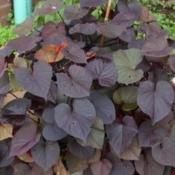 Ornamental sweet potato 'ipomoea batata'